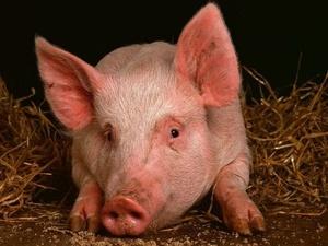 Из-за АЧС нижегородские свинокомплексы переходят на закрытый тип работы