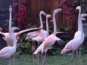 Спасенные в Нижегородской области фламинго вновь стали розовыми