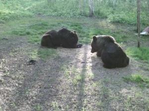 В Нижегородской области растет количество медведей