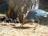 Детеныши появились у султанки и семейства паков в нижегородском зоопарке