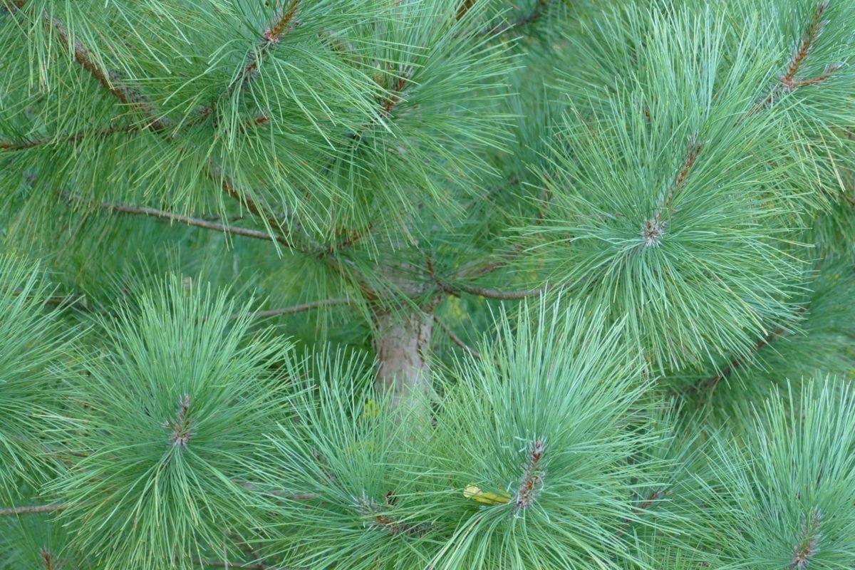 Почему елки нельзя сажать у себя на участке - фото 2